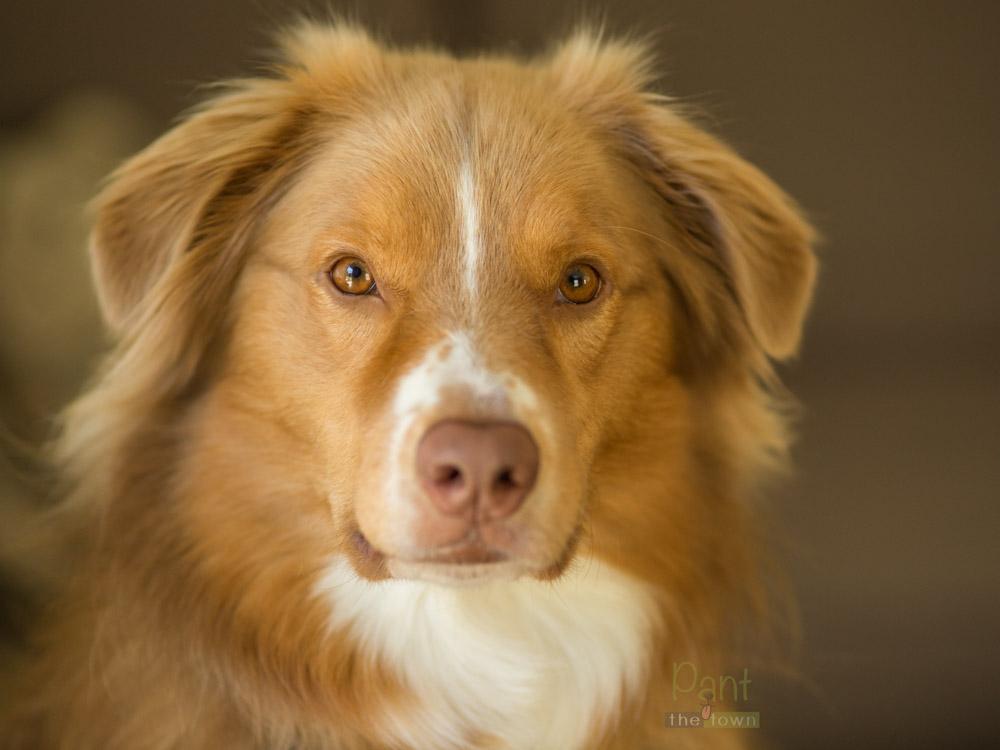 Australian Shepherd Dog Portrait in Rowley, MA