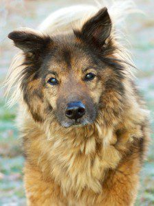 Senior German Shepherd Mix Rescue