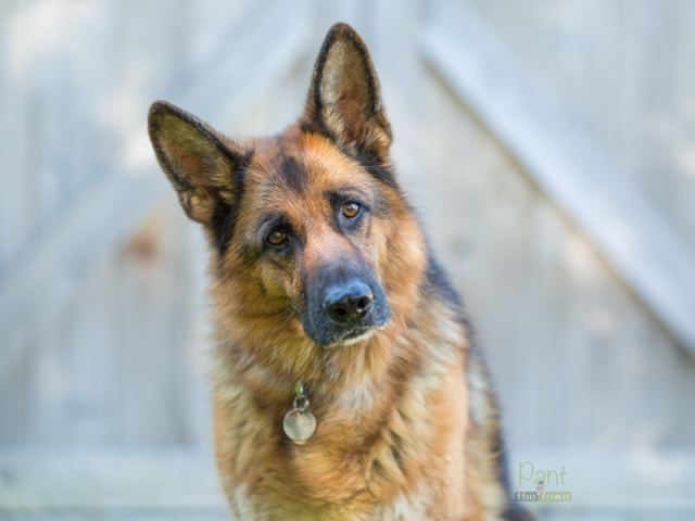 German Shepherd portrait head tilt