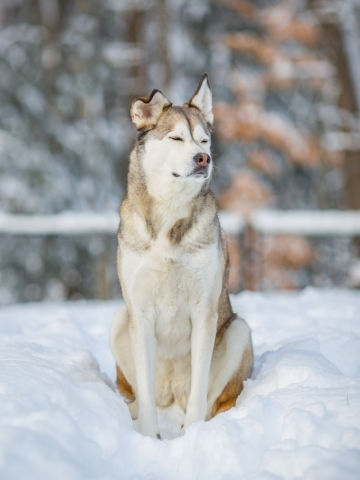 Siberian Husky Mix portrait in backyard snow, Georgetown, MA