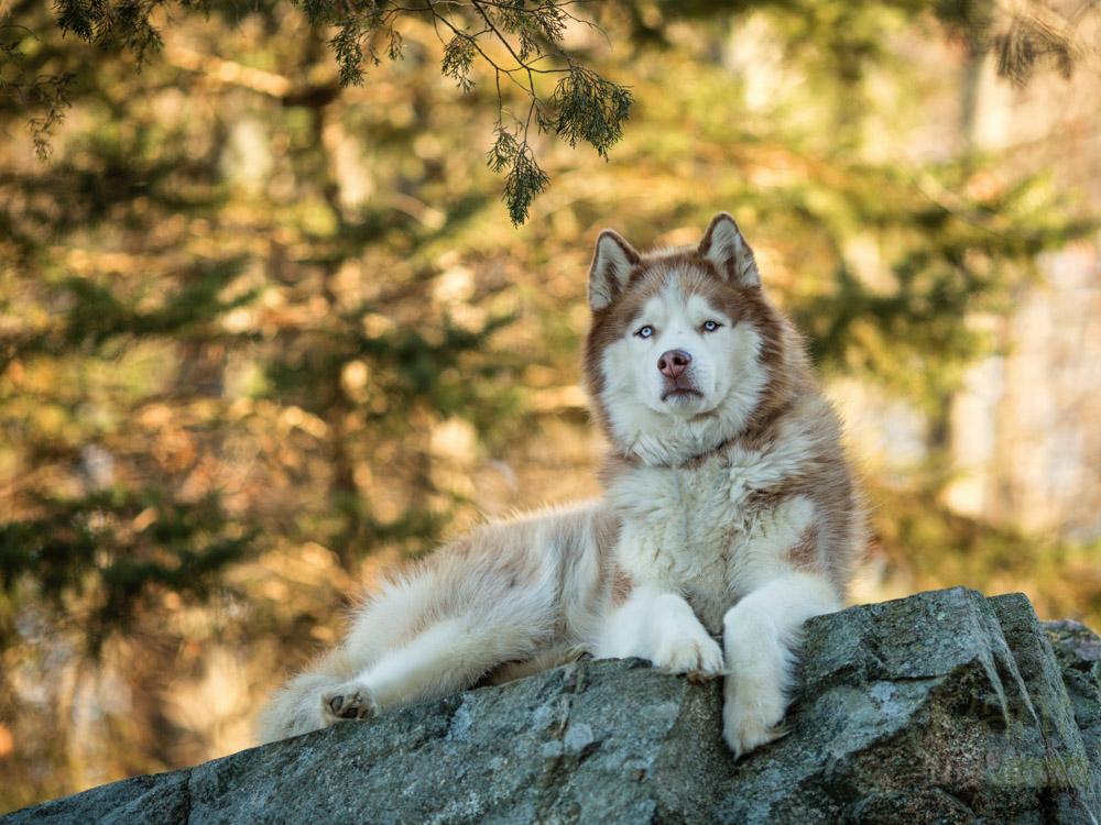 Siberian Husky posing on a rock