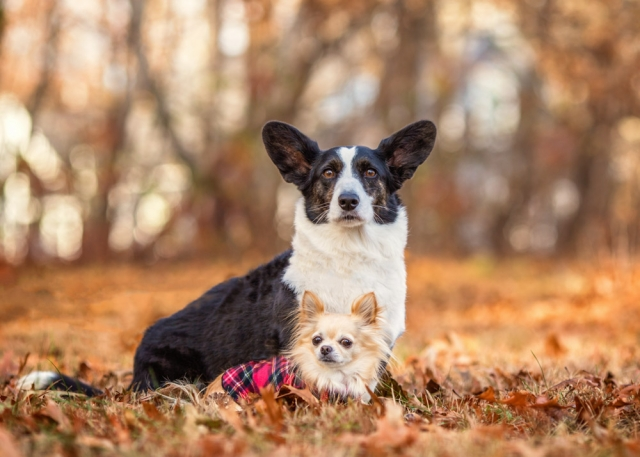 Corgi and Chihuahua Tis' the Season Pet Photos at Pailsey Farms in Boxford, MA
