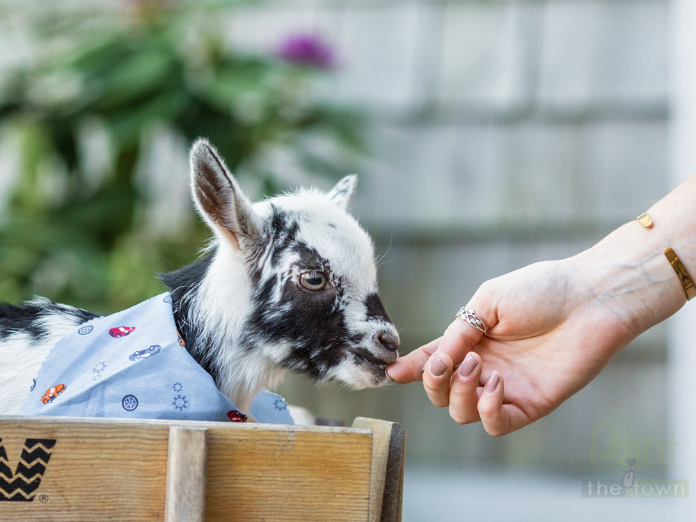 Baby Goat in a wagon