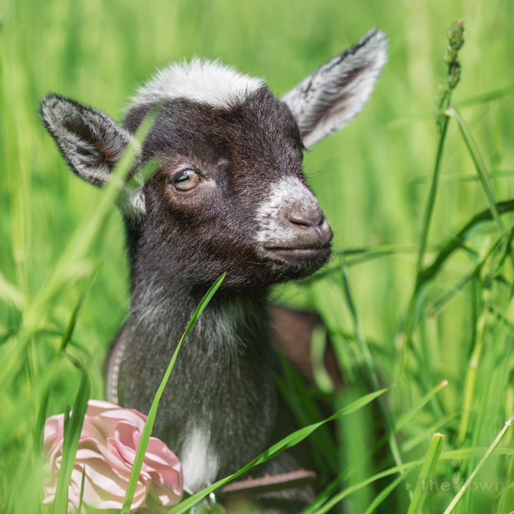 Baby goat in tall grass