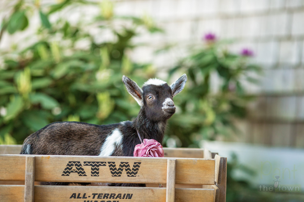 Baby Goat Photo Session