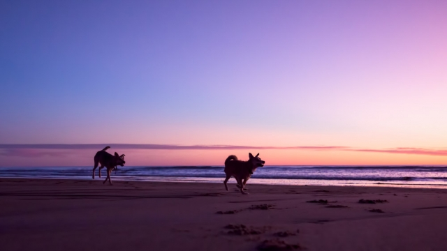 Dogs running at sunrise on Salisbury Beach