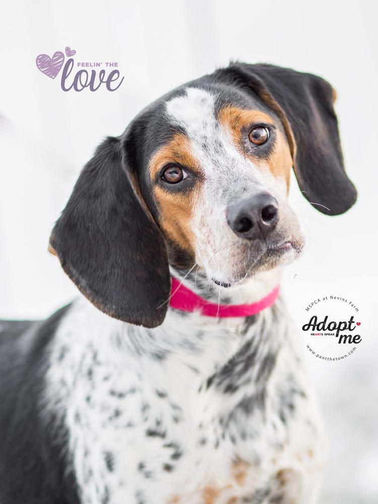 Adoptable Beagle