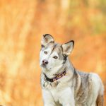 Husky mix photographed in golden morning light