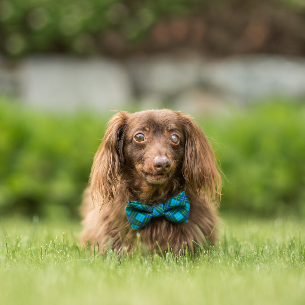 Senior Dachsund in bowtie