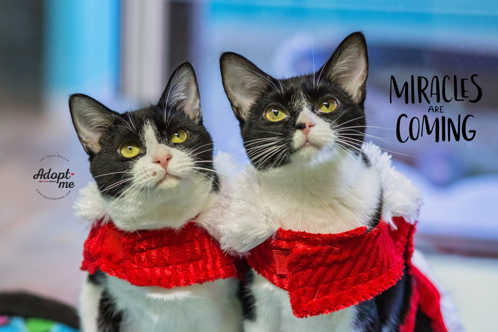 Holiday adoptable cat photos