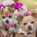 Chihuahua Dog Wedding