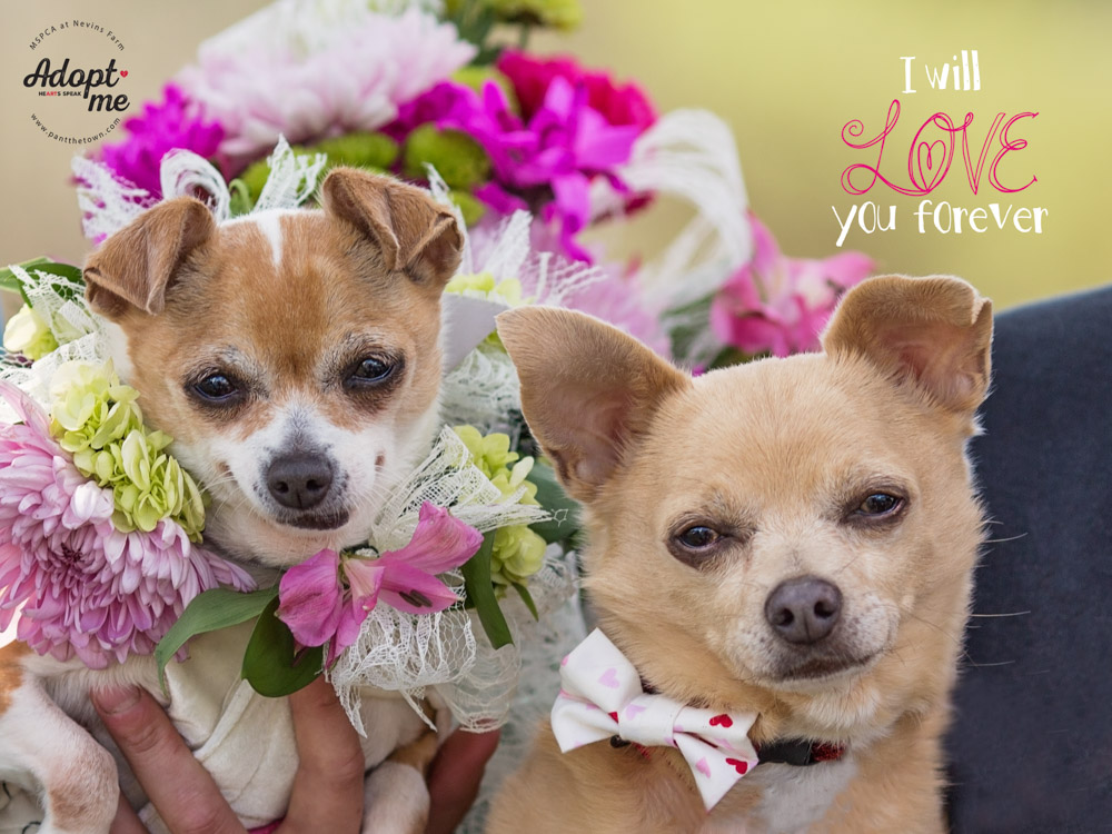 Chihuahuas Max and Emma posing for their wedding portrait at the MSPCA Nevins Farm