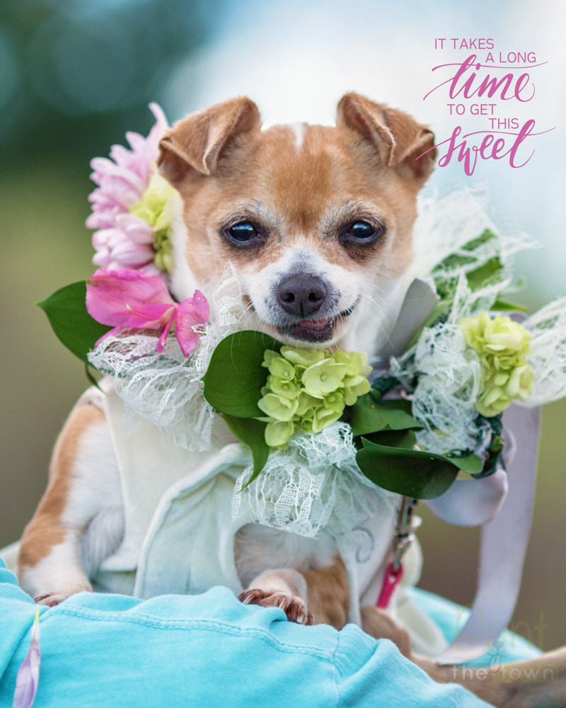 Beautiful bridal portrait of chihuahua, Emma