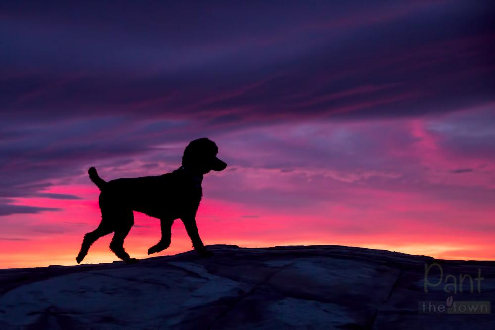 Sunrise Silhouette Poodle