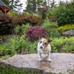 Jack Russell Terrier posing in the vineyard