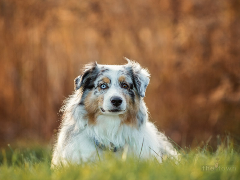 Australian Shepherd photographed at Chamard Vineyards in Clinton, CT