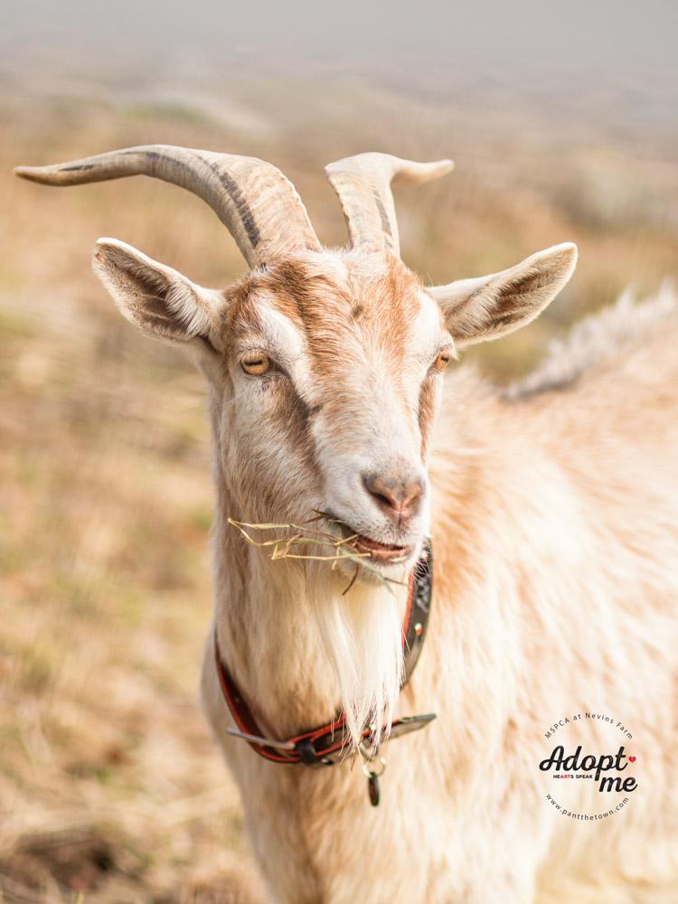 Adoptable goat