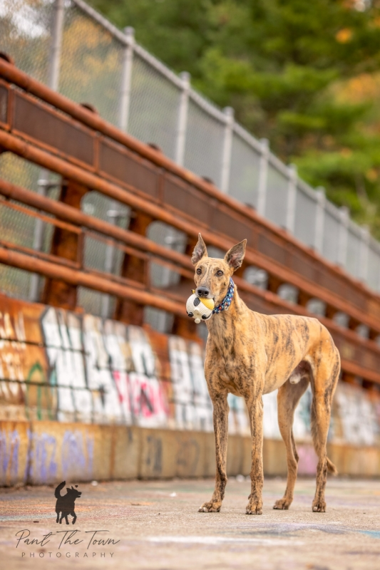 Greyhound rescue in front of graffiti wall