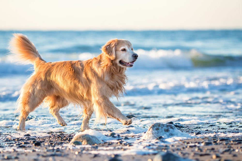 Golden Retriever on the beach in NH