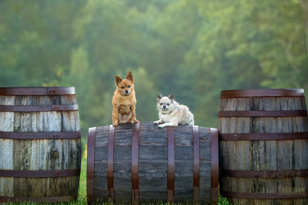 Chihuahuas posing on wine barrels during a Pant the Town Photography session at Zorvino Vineyards