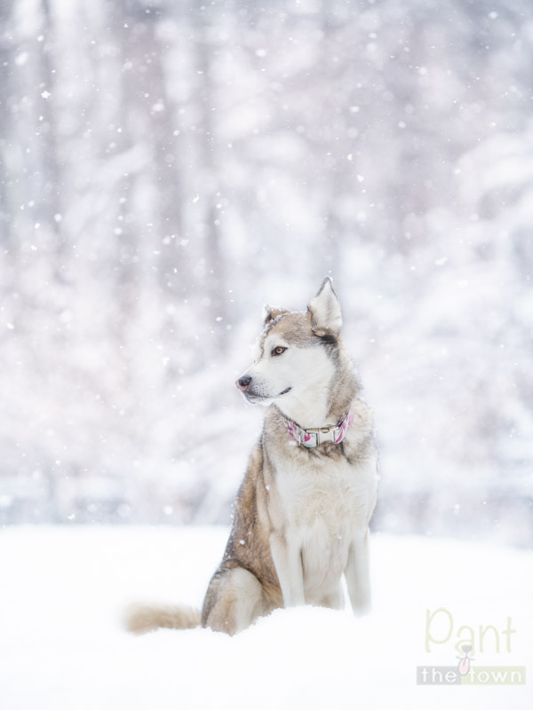 Husky Mix enjoying the snow in her backyard at home in MA