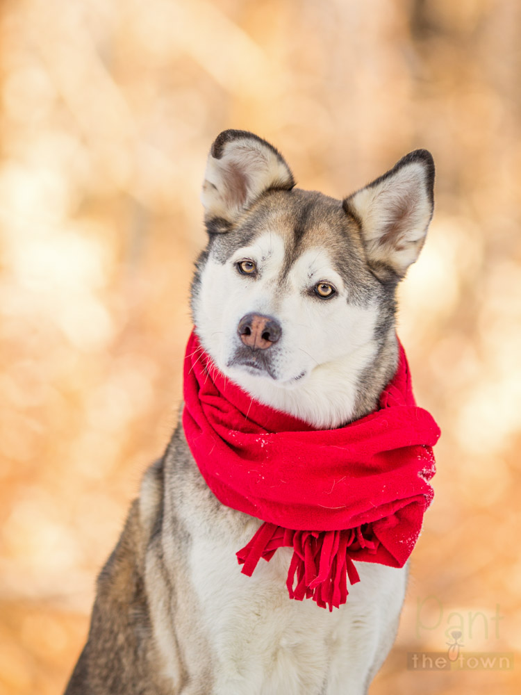 Dog portrait in a red winter scarf