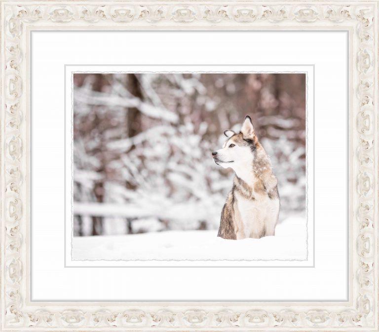 Husky in Snow Framed Print