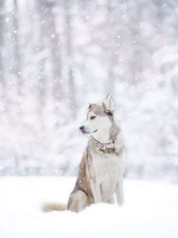 Husky Mix December Snowfall