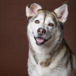 Dog Model in Chestnut Brown