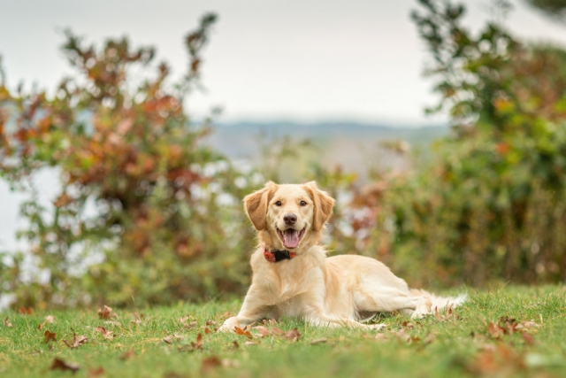 Goldendoodle pet photography session at Maudslay State Park in Newburyport