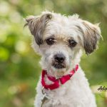 Adoptable Cairn Terrier