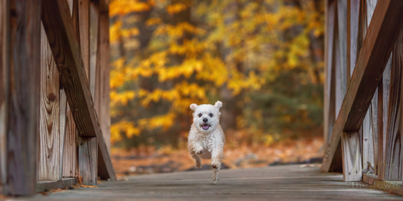 Dog running on a footbridge