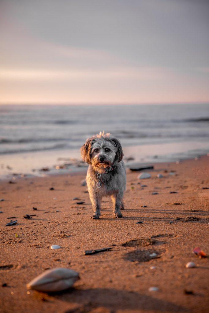 Plum Island Beach Pup