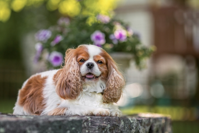 Spaniel posing in front of the flowers