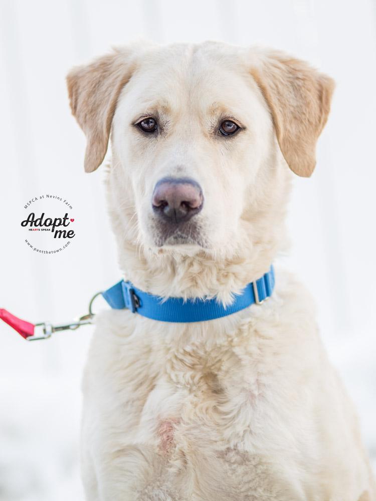 Labrador Mix MSPCA