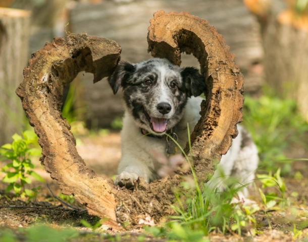 Sheltie in a heart shaped log