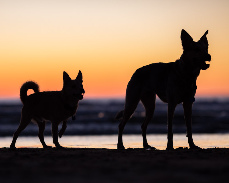 Silhouette of 2 dogs