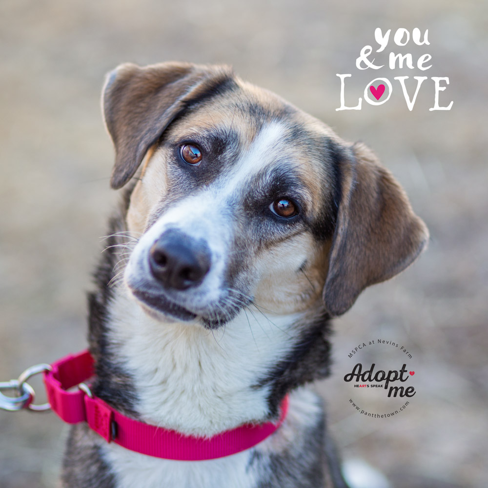 Adoptable Husky Coonhoud Mix at the MSPCA Nevin's Farm