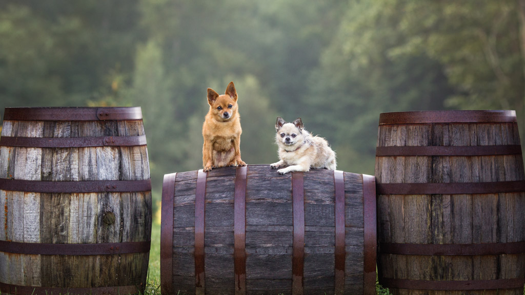 Chihuahuas in the Vineyard