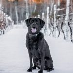 Black Lab in the Vineyard
