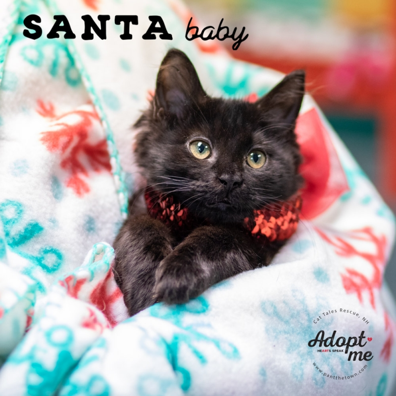 Santa Baby Kitten