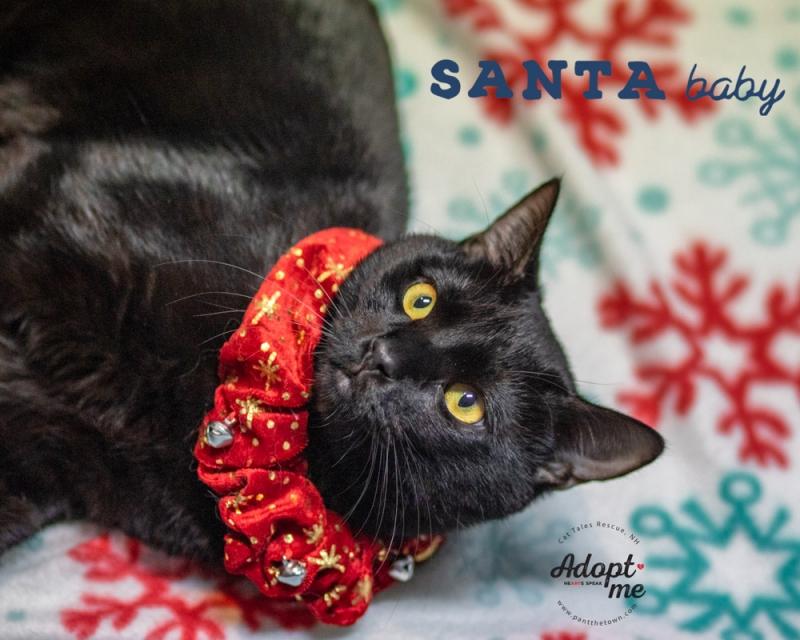 Santa Baby Adoptable Cat