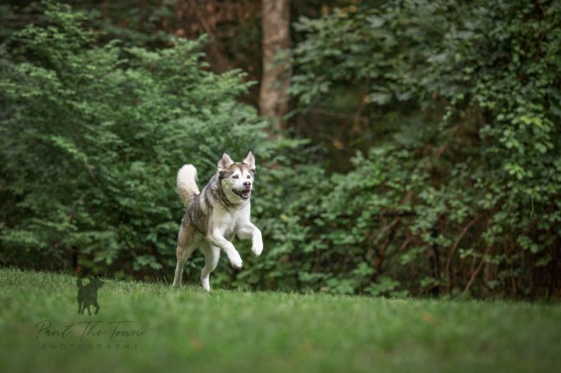 Running husky mix