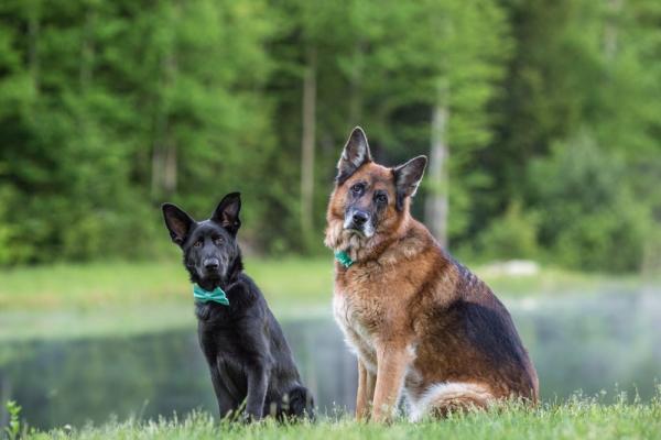 German Shepherds posing